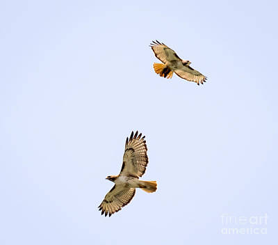 Photograph - A Pair Of Red-tailed Hawks Flying Around by Ricky L Jones