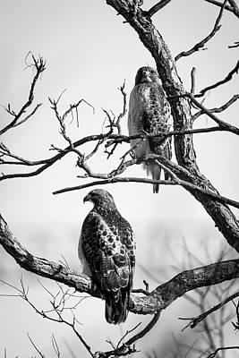 Photograph - A Pair Of Red-tails by Jeff Phillippi