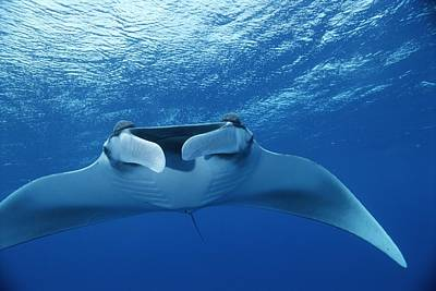 A Pair Of Remoras Hitch A Ride Art Print by Brian J. Skerry