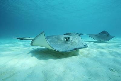 A Pair Of Southern Stingrays Swim Art Print by Raul Touzon