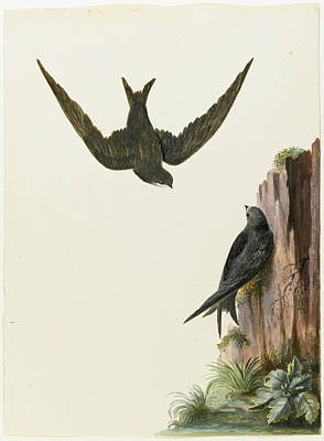 Drawing - A Pair Of Swifts by Charles Collins