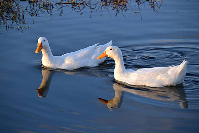 Photograph - A Pair Of White Peking Ducks On Blue Water by rd Erickson