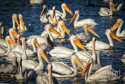Photograph - A Passel Of Pelicans by Mitch Shindelbower
