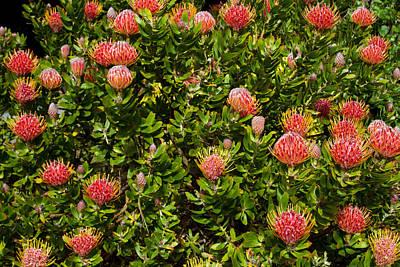 A Passel Of Protea Original
