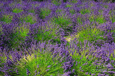 Photograph - A Pattern Of Lavender by Peter Noyce