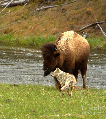 Photograph - A Pause In The Yellowstone Batle Crop by Adam Jewell