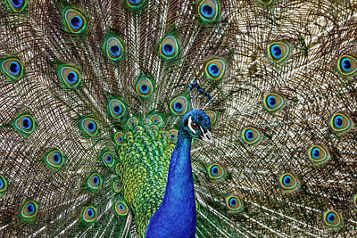 Photograph - A Peacock Display by Wes and Dotty Weber