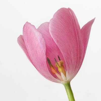 Photograph - A Peek Inside The Tulip by David and Carol Kelly