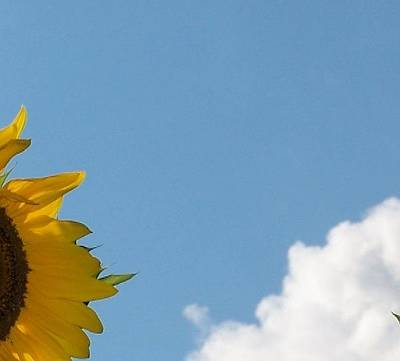 New Years - A Peek of a Sunflower with Blue Sky and White Cloud by Holly Eads