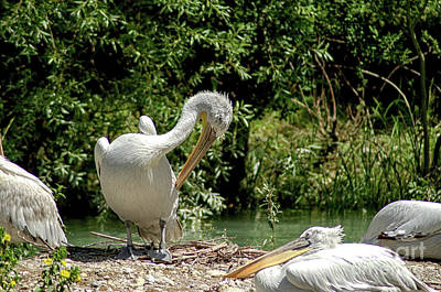 Photograph - A Pelican Family by Michelle Meenawong