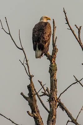 Bif Photograph - A Perched Bald Eagle by Paul Freidlund