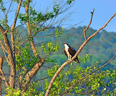 Photograph - A Perched Osprey by Lisa Wooten