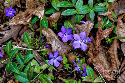 Photograph - A Periwinkle Spring by Paul Mashburn