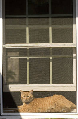 Domestic Short Hair Cat Photograph - A Pet Cat Resting In A Screened Window by Charles Kogod