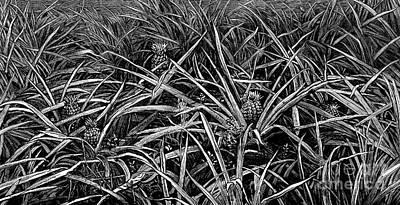 Pineapple Drawing - A Pineapple Field Near Nassau, Bahamas, 1883 by American School