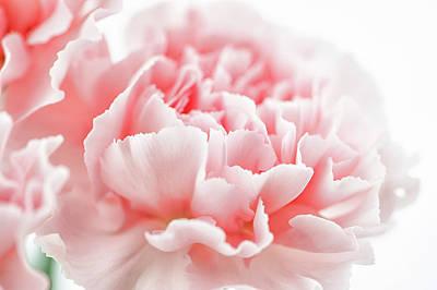 A Pink Carnation Art Print