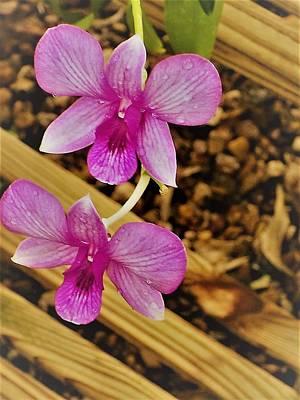 A Pink Pleasure Orchid Art Print