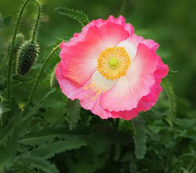 Photograph - A Pink Poppy Portrait. by Usha Peddamatham