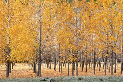 A Plantation Of Black Poplar Trees, In The Serrania De Cuenca, Spain. Art Print by Peter Eastland