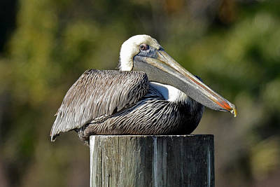 Photograph - A Pleased Pelican by Carla Parris