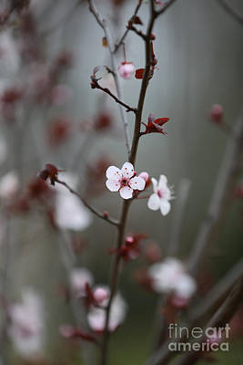 Photograph - A Plum Blossom by Lara Morrison