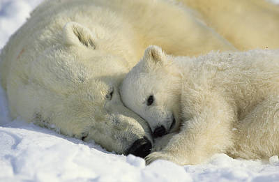 Animal Behavior Photograph - A Polar Bear And Her Cub Napping by Norbert Rosing