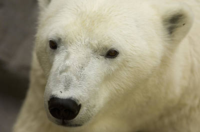 Henry Doorly Zoo Photograph - A Polar Bear At The Henry Doorly Zoo by Joel Sartore
