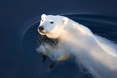 And Threatened Animals Photograph - A Polar Bear Glance by Ira Meyer