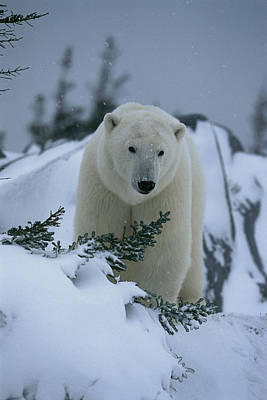 A Polar Bear In A Snowy, Twilit Print by Norbert Rosing