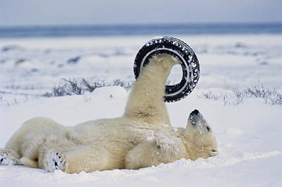 And Threatened Animals Photograph - A Polar Bear Plays With by Norbert Rosing