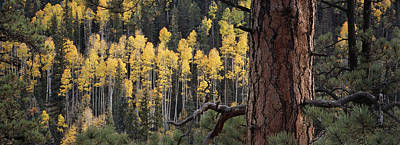 Forests And Forestry Photograph - A Ponderosa Pine Tree Among Aspen Trees by Bill Hatcher