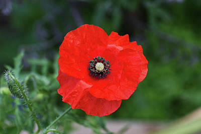 Photograph - A Poppy by Chris Day