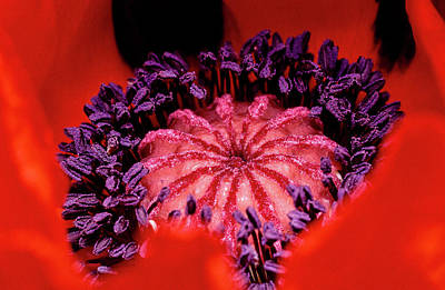 Photograph - A Poppy's Heart by Gary Shepard