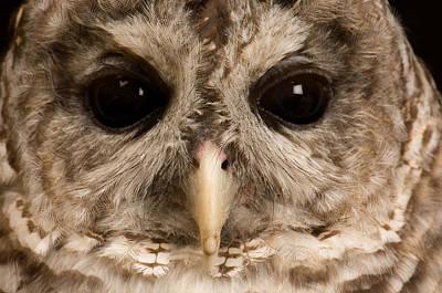 A Portrait Of A Barred Owl Strix Varia Art Print by Joel Sartore