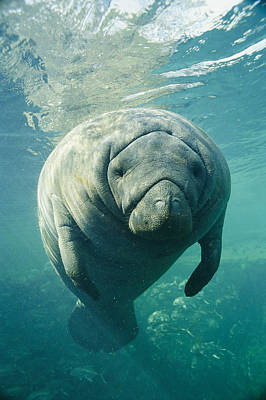 And Threatened Animals Photograph - A Portrait Of A Florida Manatee by Brian J. Skerry