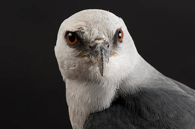 Mississippi Kite Photograph - A Portrait Of A Mississippi Kite by Joel Sartore