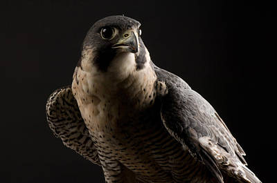 Falcon Photograph - A Portrait Of A Peregrine Falcon Falco by Joel Sartore