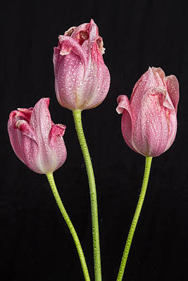 Photograph - A Portrait Of Three Pink Tulips by James BO  Insogna