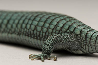 Alligator Lizards Photograph - A Prehansile Tailed Alligator Lizard by Joel Sartore