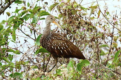 Photograph - A Proud Limpkin by Christiane Schulze Art And Photography