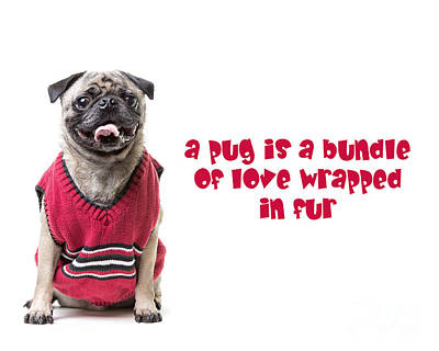Photograph - A Pug Is A Bundle Of Love Wrapped In Fur by Edward Fielding