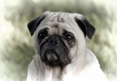 Photograph - A Pug Portrait by Erica Hanel