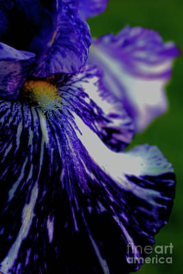 Photograph - A Purple Iris 2 by Victor K