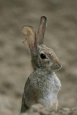 A Rabbit From The Omaha Zoo Art Print by Joel Sartore