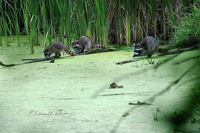 Photograph - A Raccoon Trio by Edward Peterson