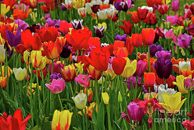 Holiday Mugs 2019 Royalty Free Images - A Rainbow Array of Tulips Royalty-Free Image by Regina Geoghan