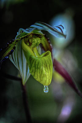 Raindrops On Orchids Photograph - A Raindrop On A Lady Slipper by Don Columbus
