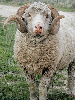 Photograph - A Real Ram by Charles McKelroy