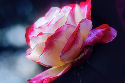 Photograph - A Red And White Rose by John Brink