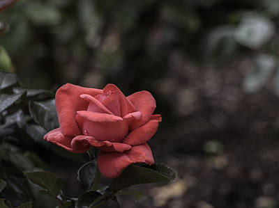 Photograph - A Red Beauty by Ed Clark